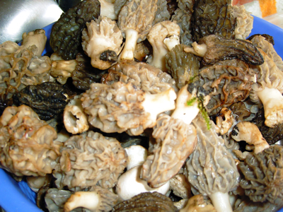 Morels