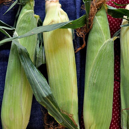 Corn_in_husks