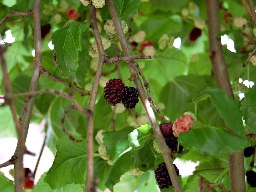 20120608-mulberries-closeup