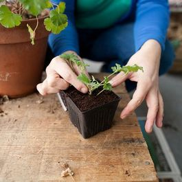 Potting_cut_geranium