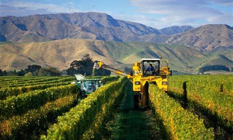 A-vineyard-in-marlborough-006