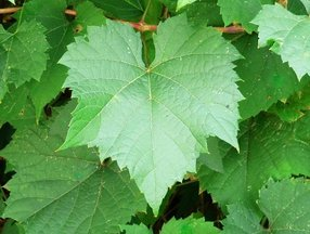 Concord-grape-leaves