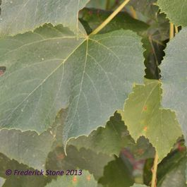 Grape_leaves