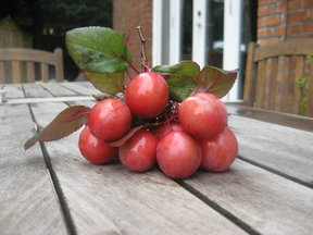 English_cherry_plums