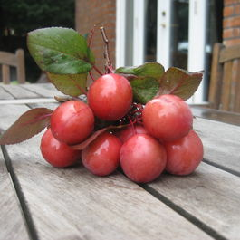 English_cherry_plums