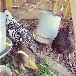 Chicken-Rearing & Taco Night with Cathy Erway