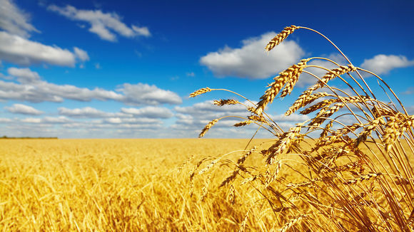 1280-wheat-strain-salty-soil