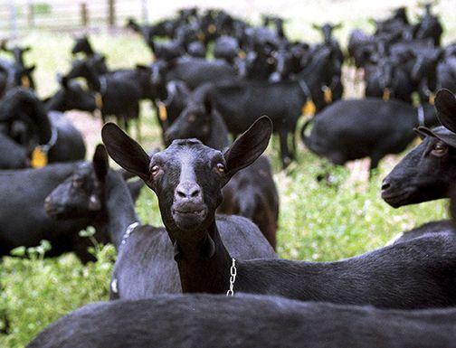 Goats_0