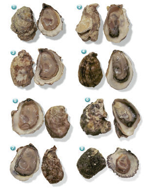 Oyster_612