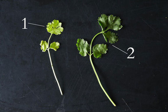 Cilantro: The Divisive Herb