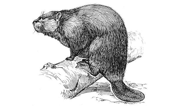 Beaver_(psf)