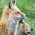 Animals_fox_1
