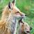 Animals_fox_1