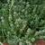Thymeflowers2